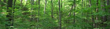 Beech-maple forest