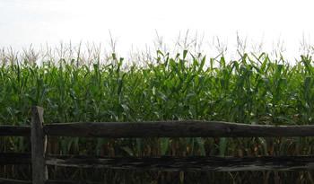 Miller's Cornfield (September 2008)