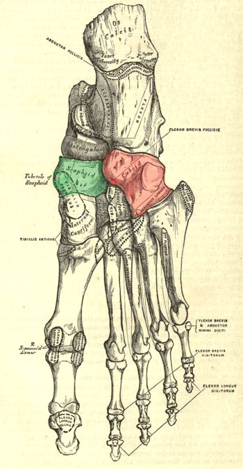 human foot bones, plantar surface (Gray's Anatomy, 1858)